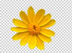 Chrysanthemum Yellow Common Daisy Flower Transvaal Daisy PNG ...