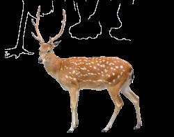 Sika deer Stock photography Clip art - Deer 1875*1485 transprent Png ...