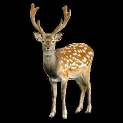 deer - Google Search | s c a n d i n a v i a n | Pinterest | Animal ...