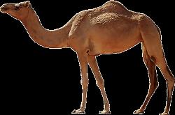 camel animal desert eid muslim walking brown arab...