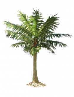 Palm Tree Png Image 2502