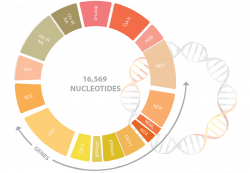 Mitochondrial DNA Sequencing
