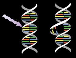File:DNA UV mutation.svg - Wikimedia Commons