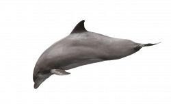 Dolphin Diving transparent PNG - StickPNG