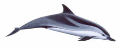 cute swimming dolphin png - Free PNG Images   TOPpng