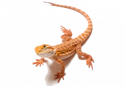 Bearded Dragon PNG Images Transparent Free Download | PNGMart.com