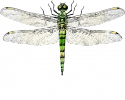 Insect wing Dragonfly Clip art - dragonfly 1024*817 transprent Png ...