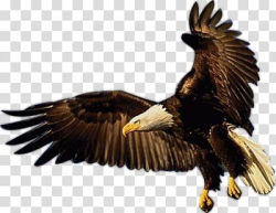 Bald Eagle Bird of prey Eagle Flight, Bird transparent ...