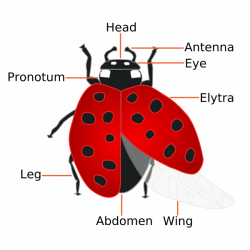 The Facts About How Ladybugs Help Humans | Dengarden