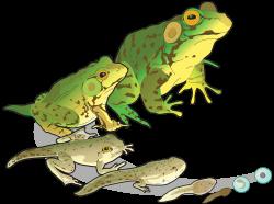 transparent clip frogs - Google Search   CLIP ART   Pinterest   Clip art