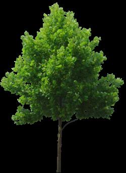 deciduous tree cut out for rendering | Entourage | Pinterest ...
