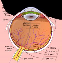 Eye - Wikipedia