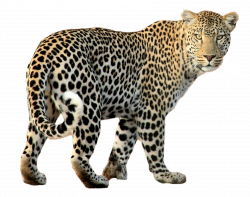 Leopard PNG Image - PurePNG | Free transparent CC0 PNG Image Library