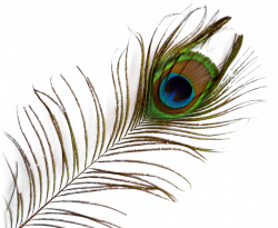 Peacock Feather PNG Image - PurePNG | Free transparent CC0 PNG Image ...