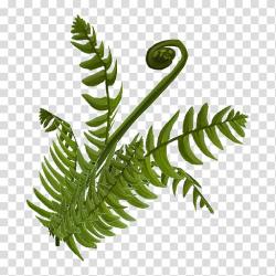 Fern Plant stem Leaf Equisetum, fern transparent background ...