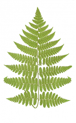 Leaping Frog Designs: Fern Frond Free PNG Image