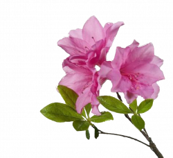 Flower Transparent PNG Pictures - Free Icons and PNG Backgrounds