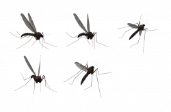 Mosquito PNG images free download