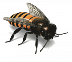Bee PNG Image - PurePNG | Free transparent CC0 PNG Image Library