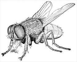 House Fly Free Clipart | CreepValley in 2019 | Insects ...