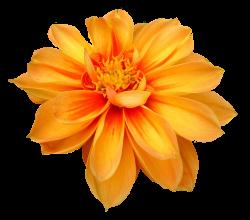 Dahlia Flower PNG Image - PurePNG | Free transparent CC0 PNG Image ...