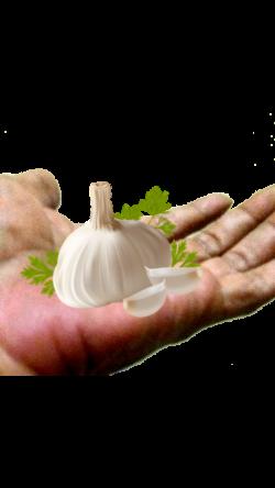 garlic ftestickers - Sticker by Ani Chopurian