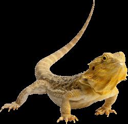 Central Bearded Dragon Lizard Reptile Green iguana Clip art - Lizard ...