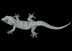 29-Perenquen-comun.png (3508×2480) | lizard | Pinterest ...