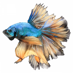 Betta PNG Free Download | PNG Mart