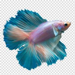 Pink and blue fish, Ku014dhaku Butterfly Koi Siamese ...