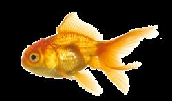 ftestickers goldfish fish - Sticker by Sona