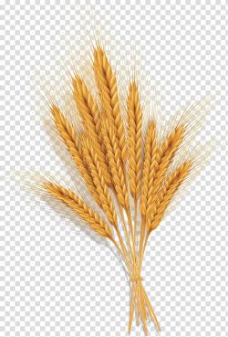 Wheat grains , Emmer Spelt Common wheat Ear, Golden wheat ...