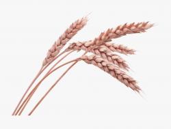 Grain Drawing Oats - Wheat Png , Transparent Cartoon, Free ...