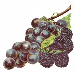 Antique Images: Stock Fruit Clip Art Blackberry Grapes Printable ...