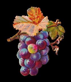Antique Images: Digital Grapes Download Fruit Clip Art Leaves Branches