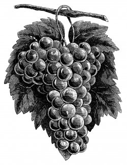 cluster grapes clipart, black and white graphics, vintage ...