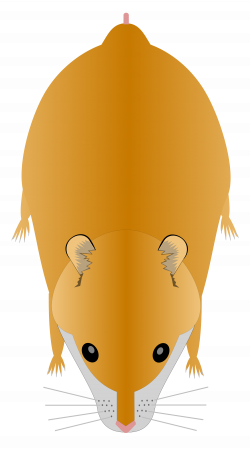 File:Hamster - Syrian.svg - Wikimedia Commons