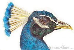 Peacock Head Stock Illustrations, Vectors, & Clipart – (191 ...