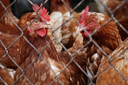 How to Start a Layer Farm for Egg Production | Afrimash.com ...