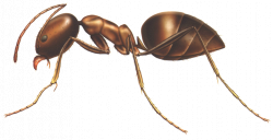 anatomy of an ant | Anatomy of an ant | Ants AND Termites ...