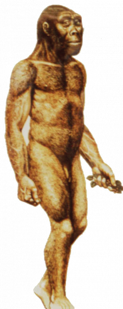 Estes es el Australopithecus robustus. Eran muy robustos, eran ...