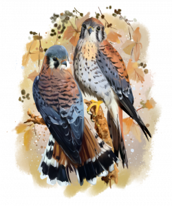 American Kestrel watercolor painting by Kajenna.deviantart.com on ...