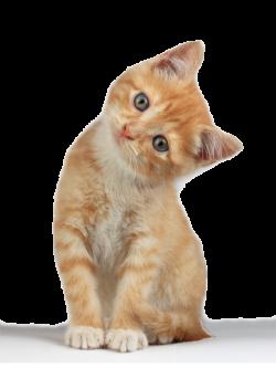 Kitten PNG Clipart   PNG Mart