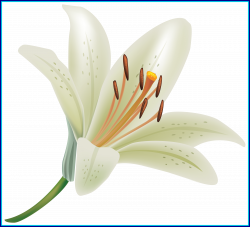 Best White Lily Flower Png Clipart Of Concept And Clip Art Ideas ...