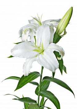 White Lily transparent PNG - StickPNG