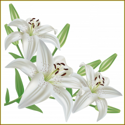 The Best White Lilium Png Clipart Picture Cvetochnye Fantazii Of ...