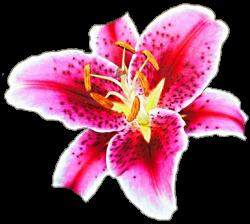 Stargazer Lily by jeanicebartzen27 on DeviantArt