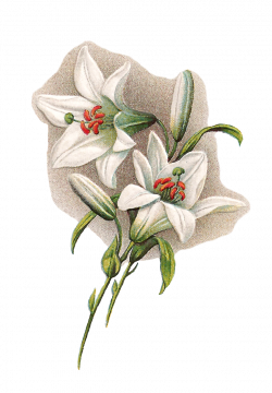 Antique Images: Free Digital Easter Graphics of White Easter Lilies ...