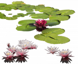 water lily png - Free PNG Images | TOPpng