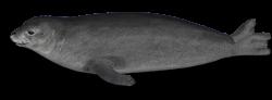 Harbor seal PNG